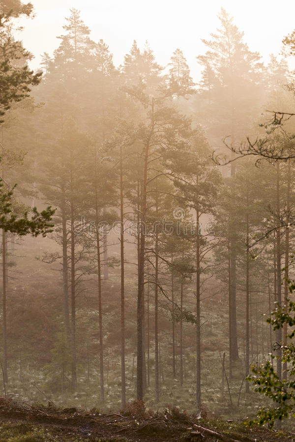Forest with morning mist royalty free stock image
