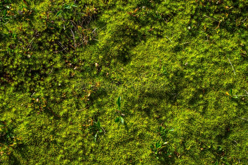 Forest moss close up royalty free stock photos