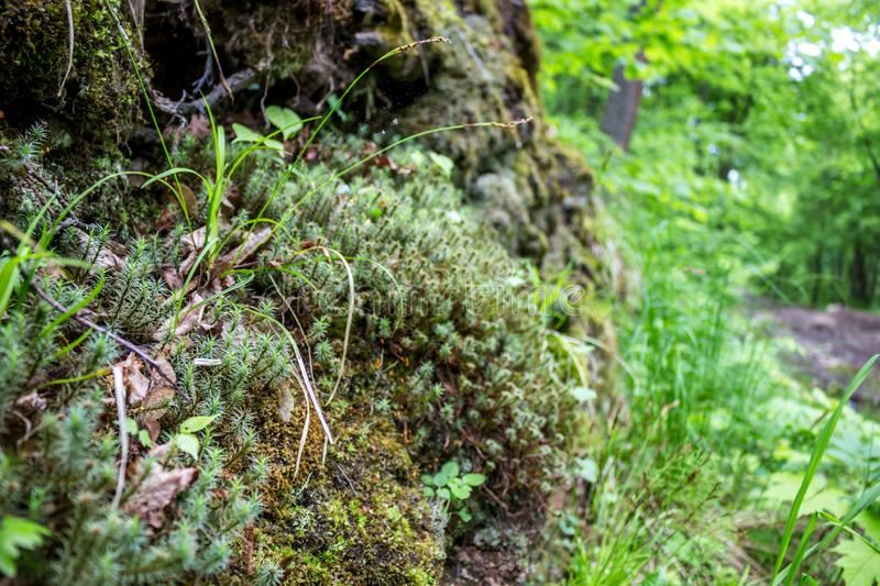 Forest moss, spring day. Close royalty free stock image