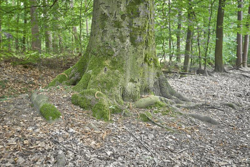 Forest with moss in the trees.  stock images
