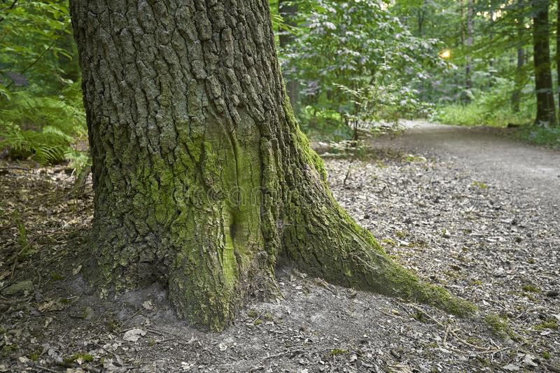 Forest with moss in the trees.  stock image