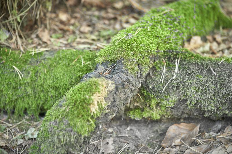 Forest with moss in the trees.  stock photo
