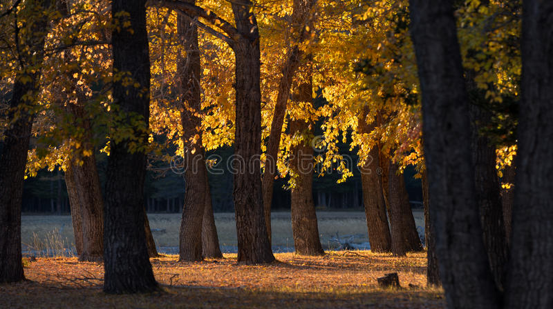 Forest Mountains Autumn Landscape. Sunny Edge Between A Poplar Grove With Golden Foliage In The Rays Of A Warm Autumn Setting Sun. royalty free stock images