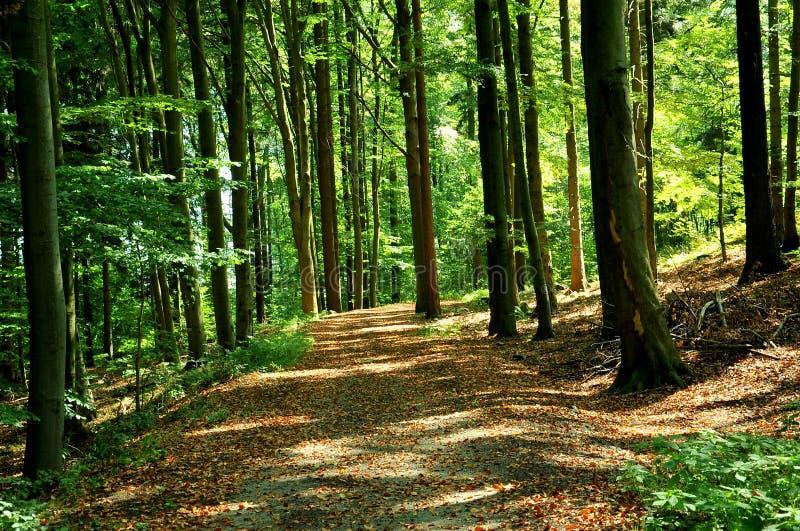 Forest near Pisek, Southern Bohemia, Czech Republic royalty free stock photo