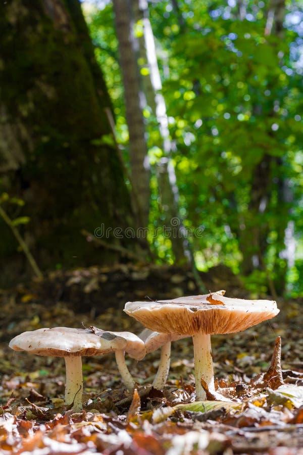 Forest Mushrooms On som en Sunny Clearing Among The Fallen lämnar på naturlig bakgrund i naturlig livsmiljö royaltyfri fotografi