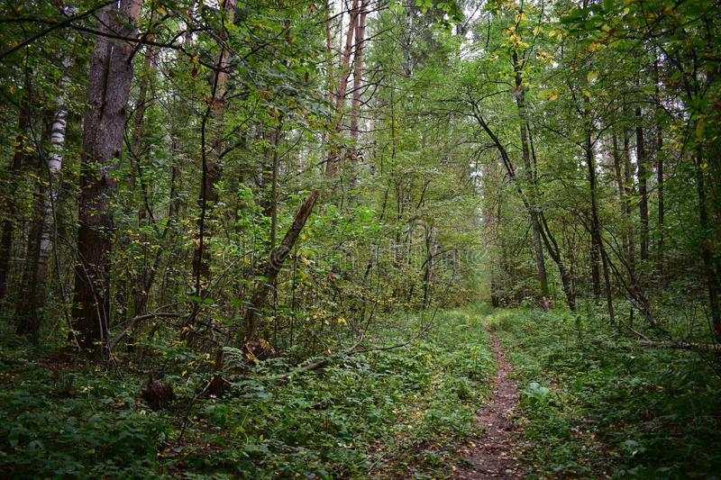 In the forest a narrow dirt road near which is growing the grasses. Tall coniferous trees grow on both sides. Of the road stock photography