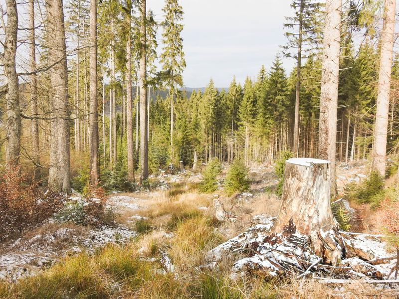 Forest in National park Sumava. National park Sumava is biggest park in Czech republic. Nature is wild and beautiful royalty free stock photography