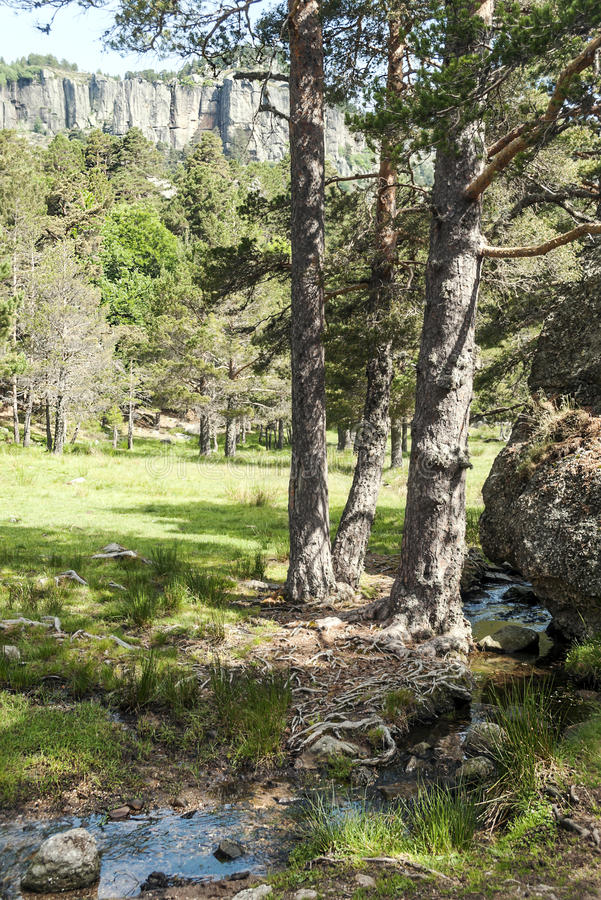 Free Forest Of Vinuesa Stock Photo - 57928690