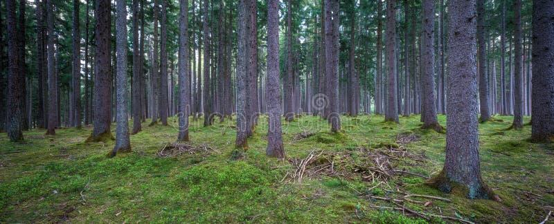 Forest Panorama fotografía de archivo