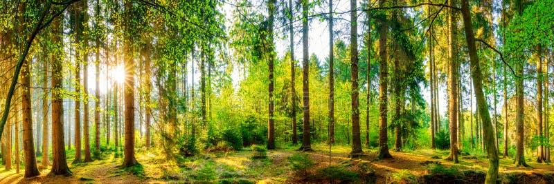 Forest Panorama foto de archivo libre de regalías