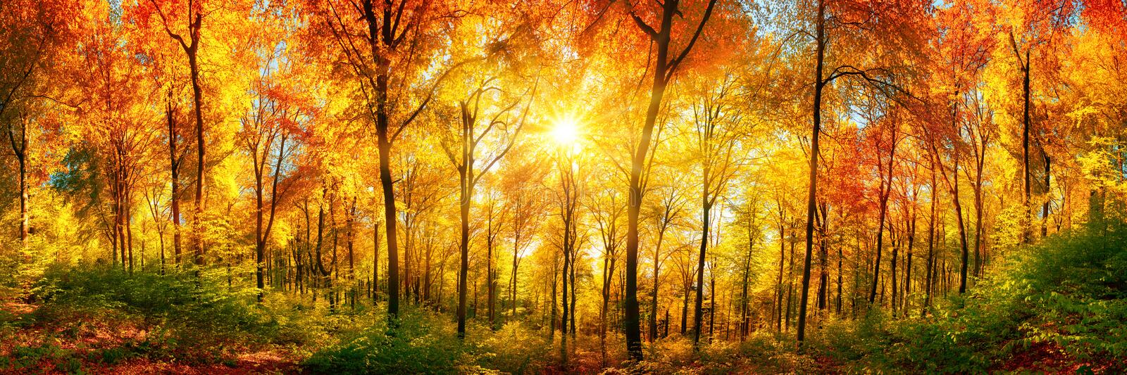 Forest panorama in autumn. Autumn scenery in panorama format: a forest in vibrant warm colors with the sun shining through the leaves royalty free stock photos