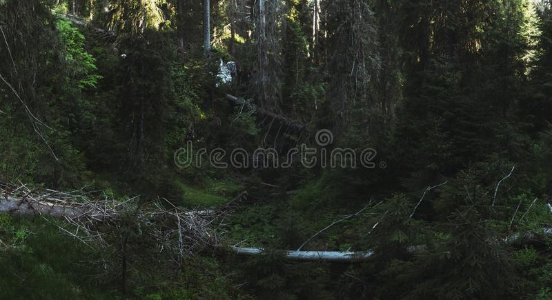 Forest panorama. Fallen trees among green pine trees in virgin f stock photos