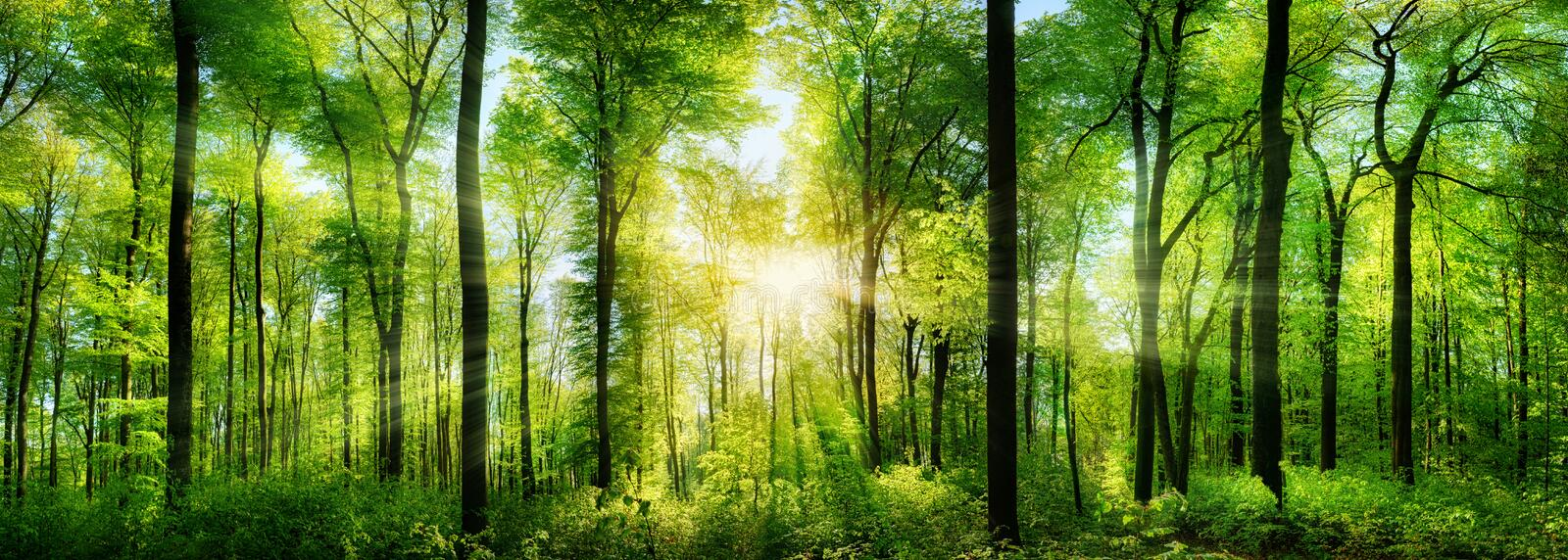 Forest panorama with rays of sunlight stock photos