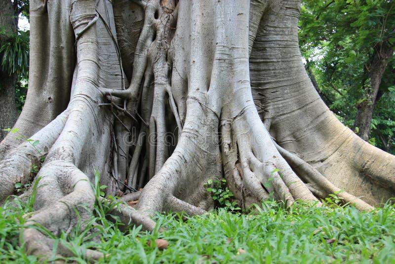 Forest Park Raíz grande del baniano fotos de archivo libres de regalías