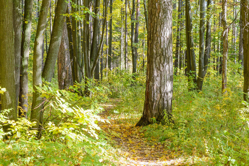 Forest Path. Autumn, Early autumn, Forest, Forest Path, Grove, Path In The Woods, Pine tree, Pines, Trees stock image