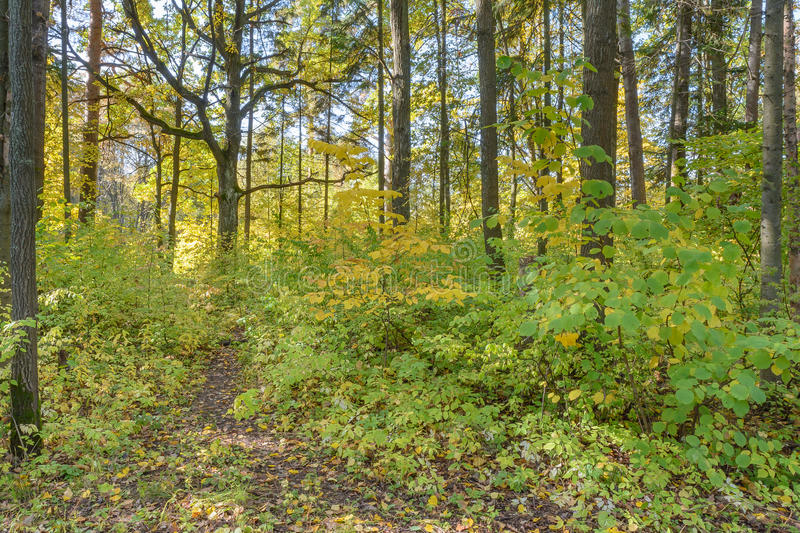 Forest Path. Autumn, Early autumn, Forest, Forest Path, Grove, Path In The Woods, Pine tree, Pines, Trees stock photography