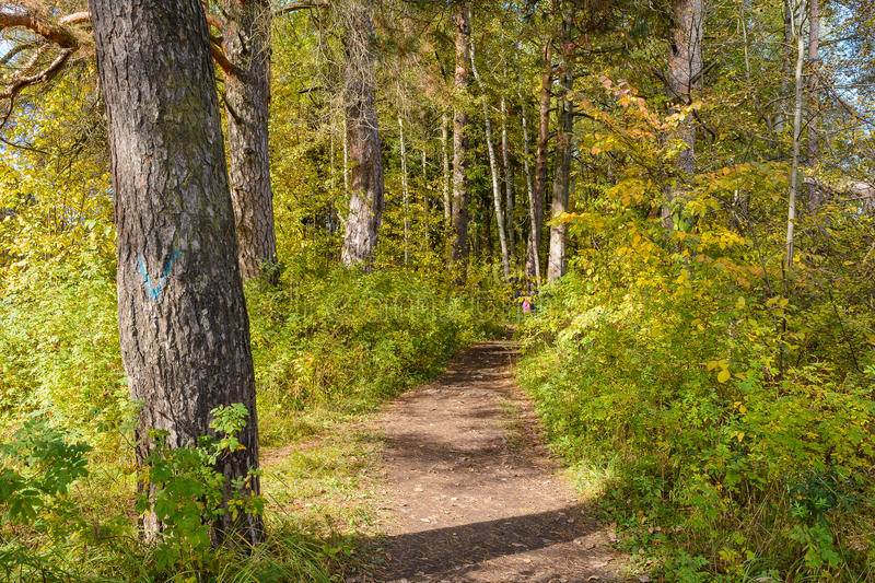 Forest Path. Autumn, Early autumn, Forest, Forest Path, Grove, Path In The Woods, Pine tree, Pines, Trees stock images
