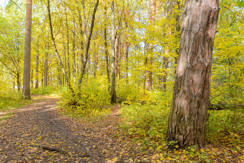 Forest Path. Autumn, Early autumn, Forest, Forest Path, Grove, Path In The Woods, Pine tree, Pines, Trees royalty free stock photography