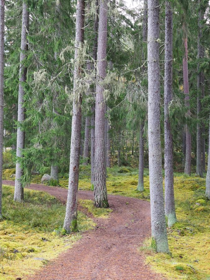 Forest path. In autumn, pine trees in autumn stock images
