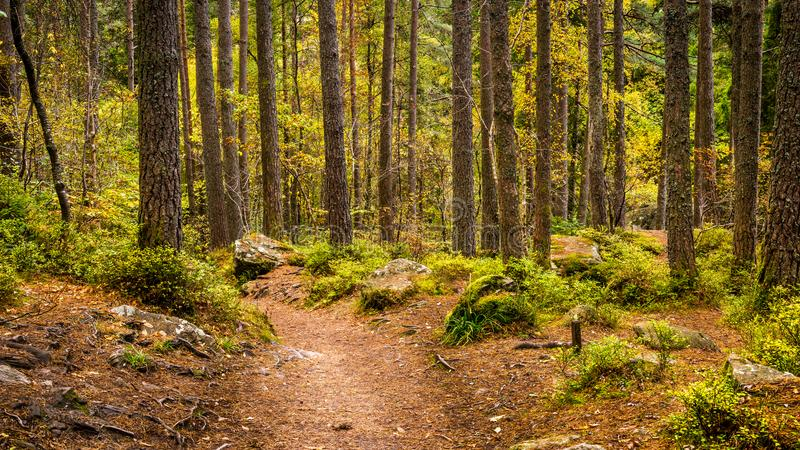 Forest Path through autumnal woodland. A path through an old mature pine woodland which forms part of the Hermitage located near Dunkeld in Perthshire stock images