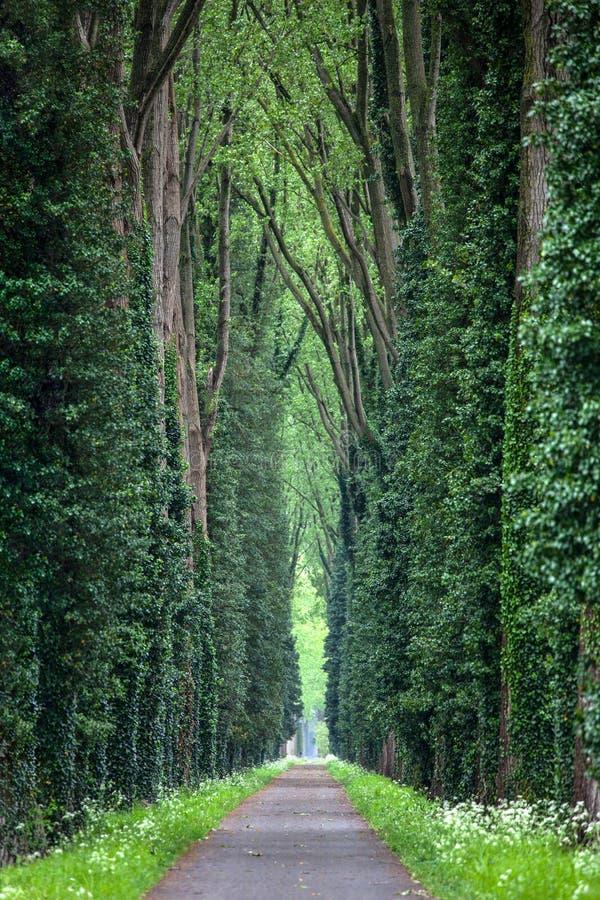 Forest Path com árvores altas imagem de stock royalty free