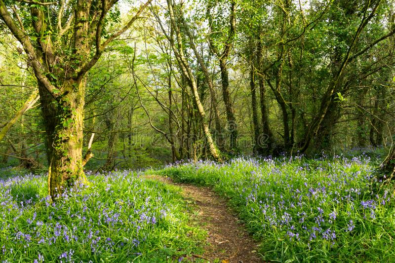Forest Path con le campanule di fioritura fotografia stock libera da diritti