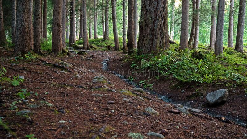 A forest path in a dark alpine forest in switzerland. Pine trees and rocks show the path leading into the forest. Views showing High mountains, rivers, forests royalty free stock image
