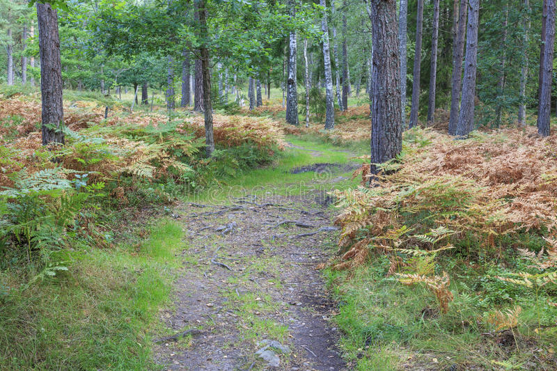 Download Forest path stock image. Image of hiking, woodland, pine - 32065751