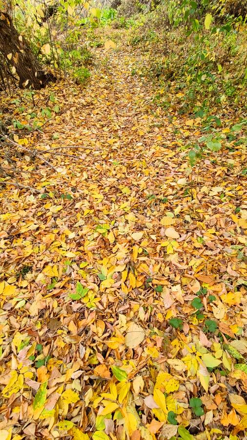 Forest path is filled with fallen leaves royalty free stock photo