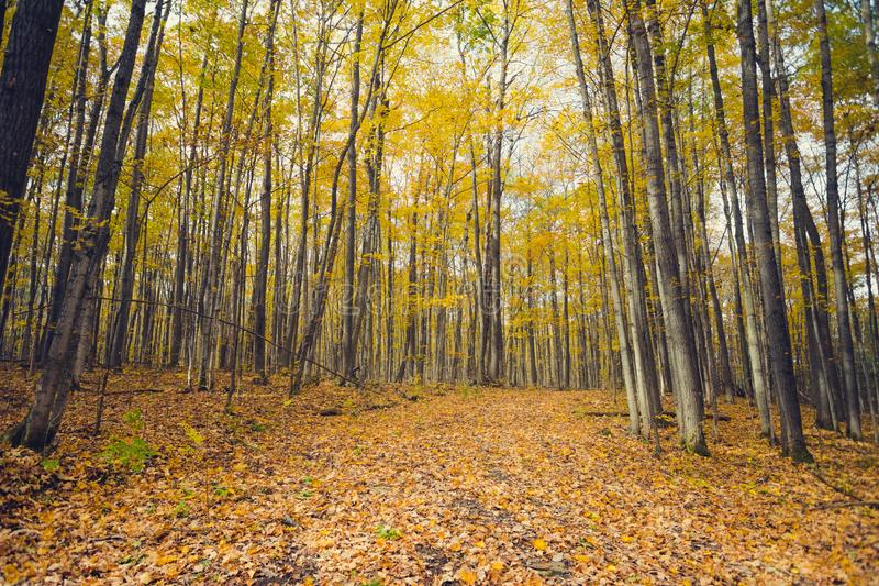 A forest path through golden autumn foliage royalty free stock photography