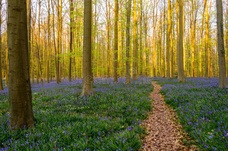 Forest Path im Glockenblume-Teppich lizenzfreie stockbilder