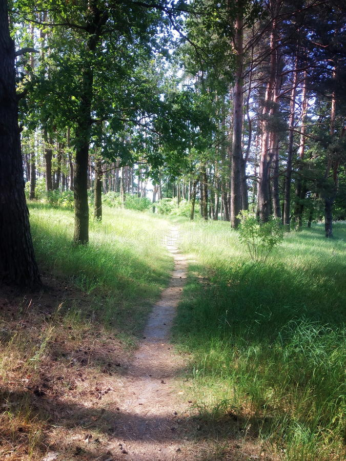 Forest path. A path leading through a pine forest. Sunny weather. Around everything is blooming and green. Photo royalty free stock photo