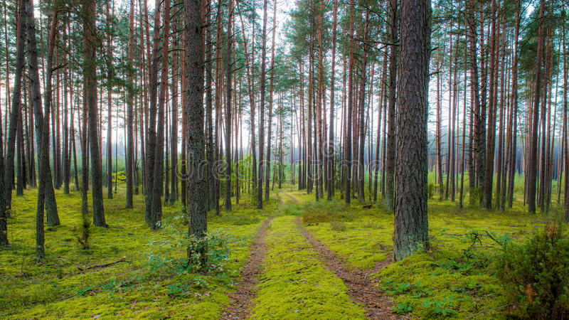 Forest path and misty pine forest. Dense Pine forest and road path stock photos