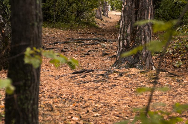 Forest path in a pine forest. In autumn stock photo