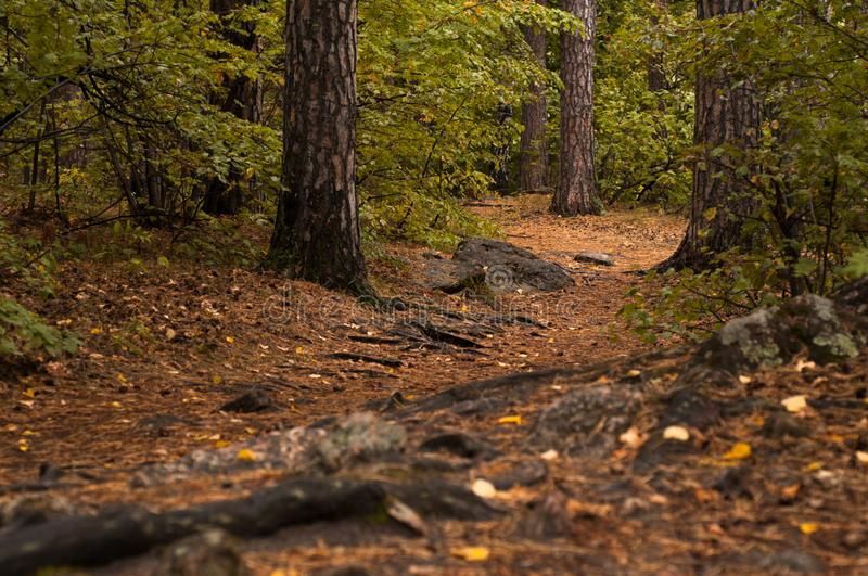 Forest path in a pine forest. In autumn royalty free stock photo