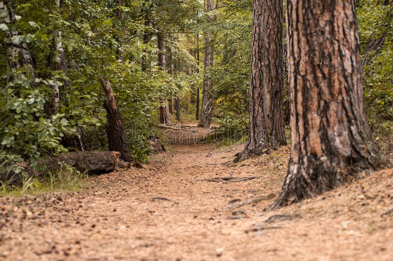 Forest path in a pine forest. In autumn royalty free stock images