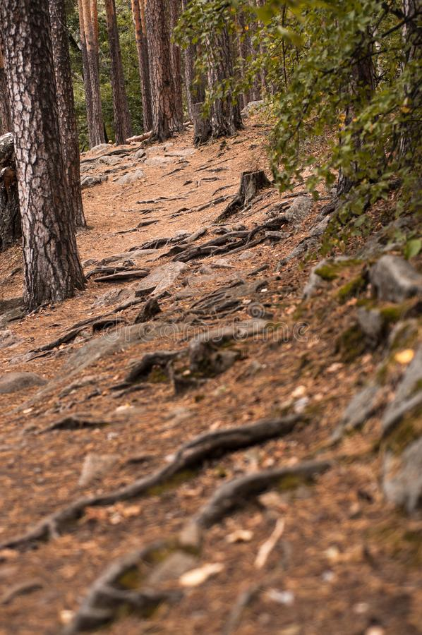 Forest path in a pine forest. In autumn royalty free stock photos