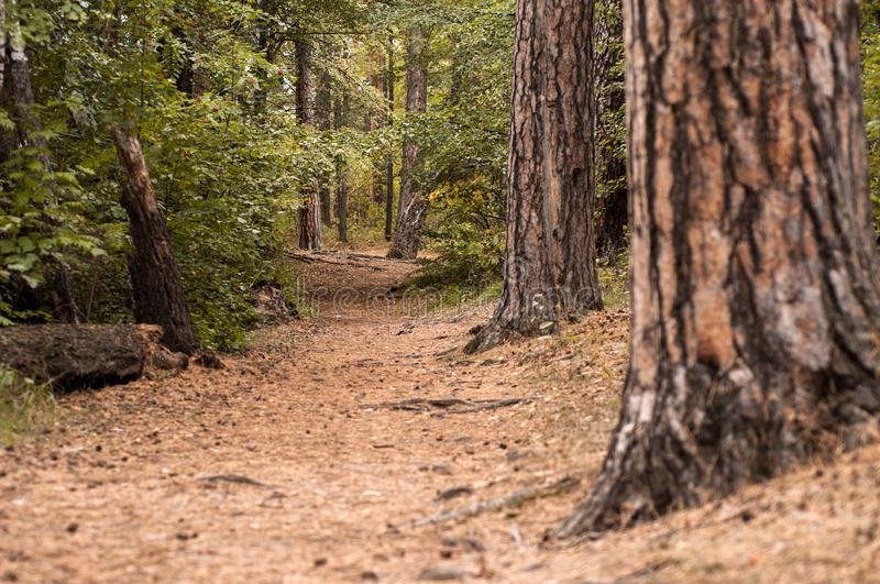 Forest path in a pine forest. In autumn stock photography