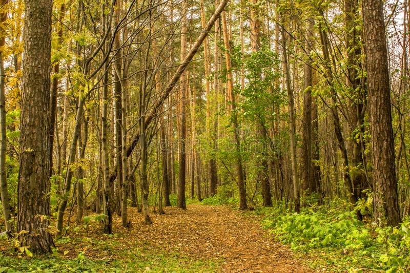 The forest path in the pine forest is covered with autumn leaves. Landscape royalty free stock photography