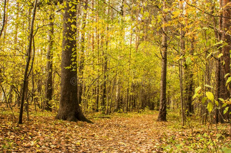 The forest path in the pine forest is covered with autumn leaves. Landscape royalty free stock photo