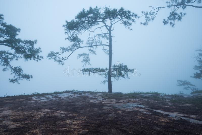 Forest path with pine and mist stock photo