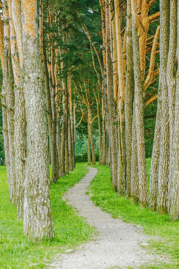 Forest path in pine. Forest on summer day royalty free stock photography