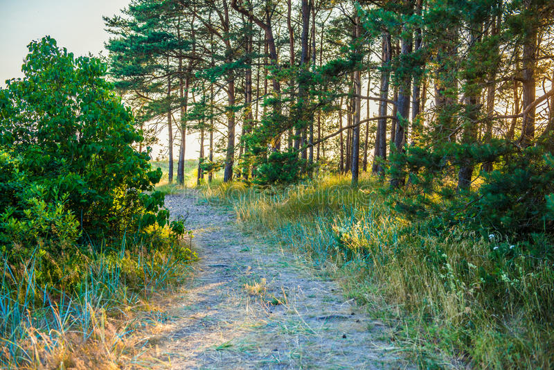 Forest path. In pine forest at sunset light royalty free stock images