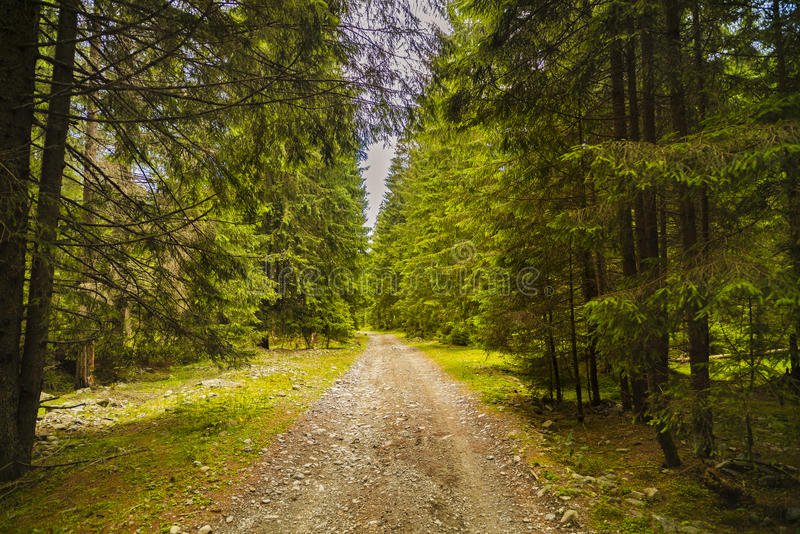 A forest path with pine trees in the mountains in the Carpathian. S, Romania royalty free stock photos