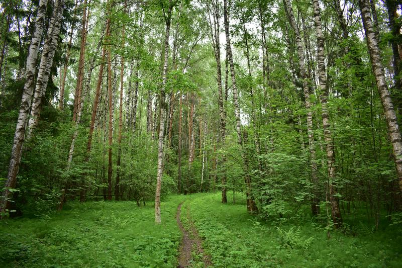 Forest path strewn with leaves of the birch trees bowed their branches with leaves. Quiet forest this place is always full of the mystery of forest life stock image