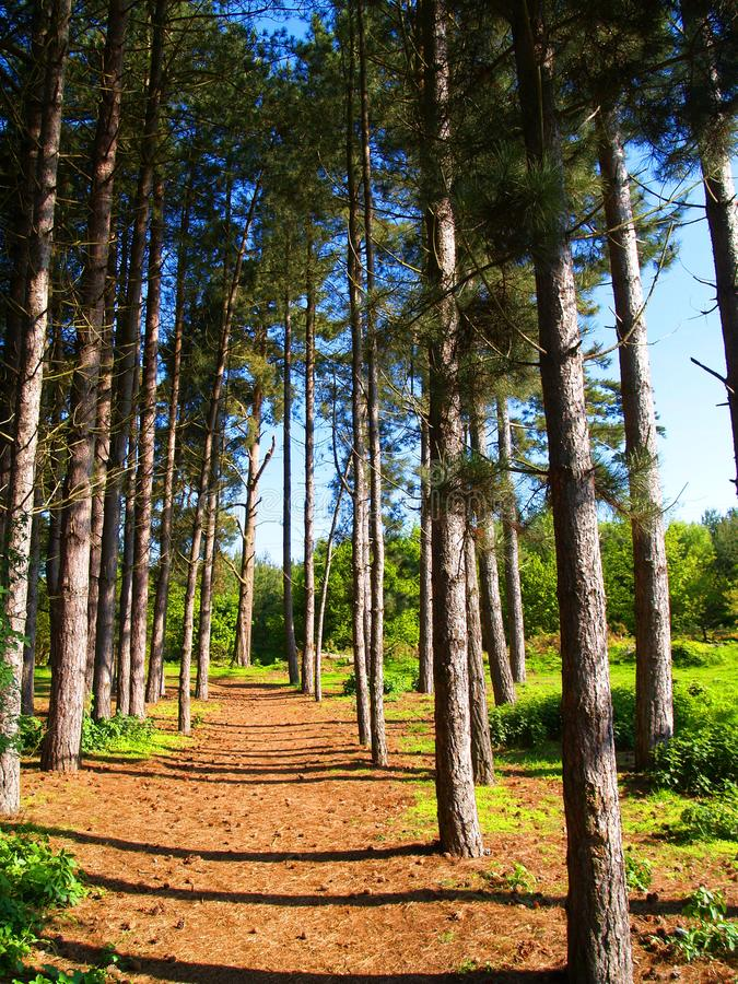 Path through pine trees. Forest path though pine trees side lit from evening sun on a warm summer evening royalty free stock photos