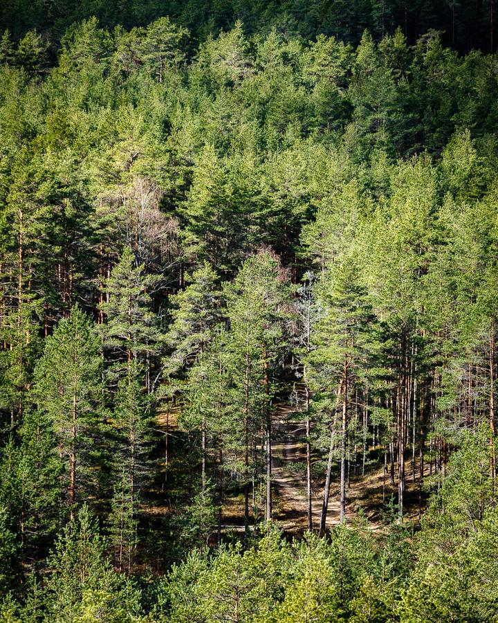 The forest path through the trees. Sunny day in the pine forest; view from the top to the pine forest; spring, the forest path through the trees; beautiful green royalty free stock image