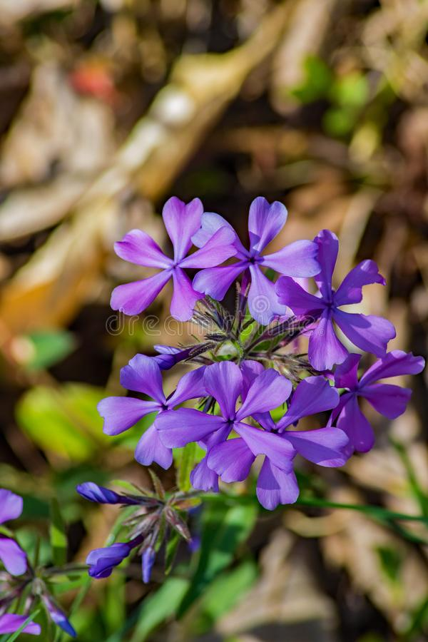 Forest Phlox – Phlox divaricate. Wild Blue Phlox, also called Wild Sweet William, grows in rich woods and fields in the Blue Ridge Mountains of Virginia stock photos