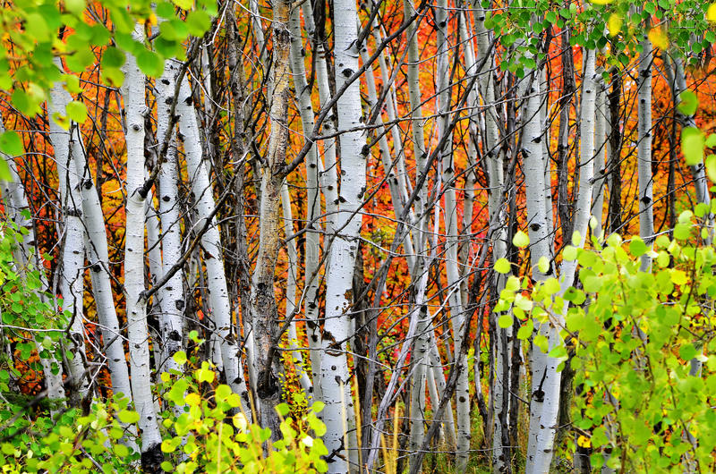 Forest of Pine, Aspen and MapleTrees in Fall royalty free stock photo