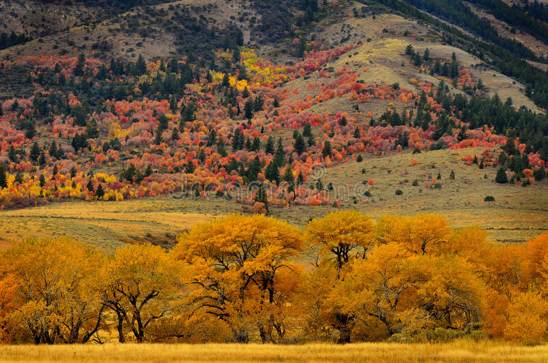 Forest of Pine, Aspen and Pine Trees in Fall stock image